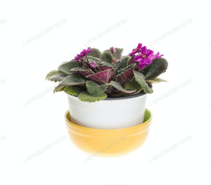 Beautiful domestic violet flowers.