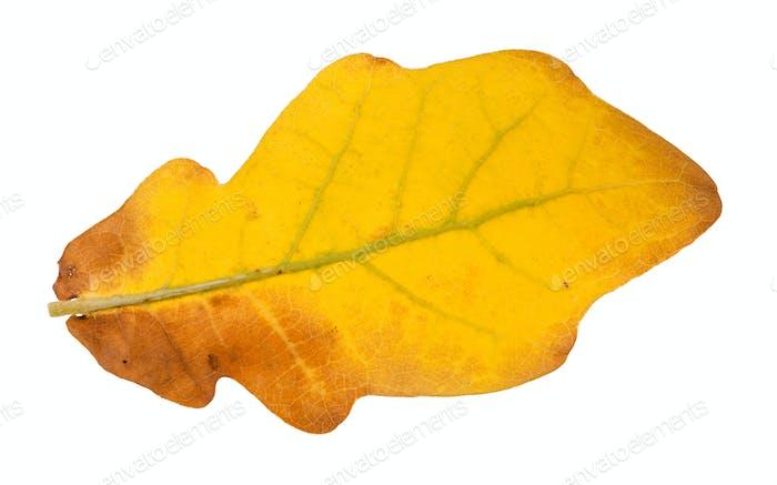back side of fallen yellow oak leaf isolated
