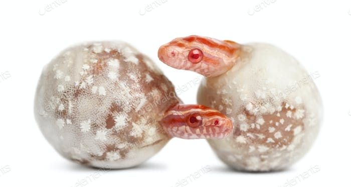 Corn snake hatching, Pantherophis guttatus guttatus, also know as red rat snake
