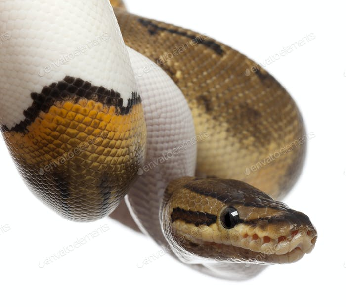 Close-up of Female Pinstripe Pied Royal python