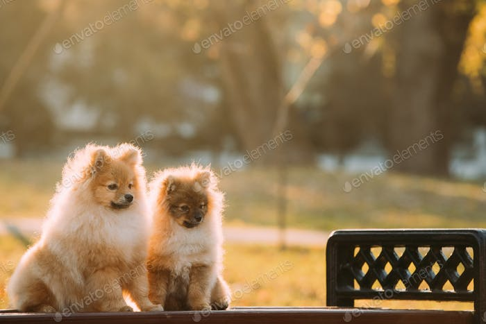 Two Young Red Puppy Pomeranian Spitz Puppy Dogs Sitting On Park
