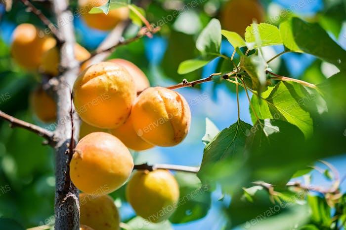 Fresh ripe apricots on tree branch close up