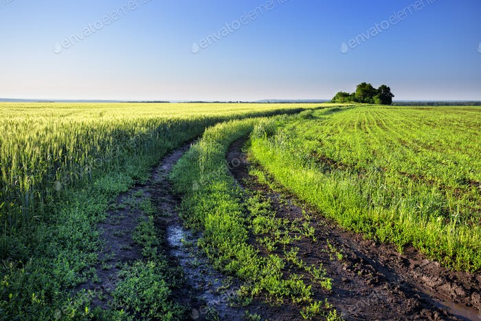 Country road in a field with green wheat ears