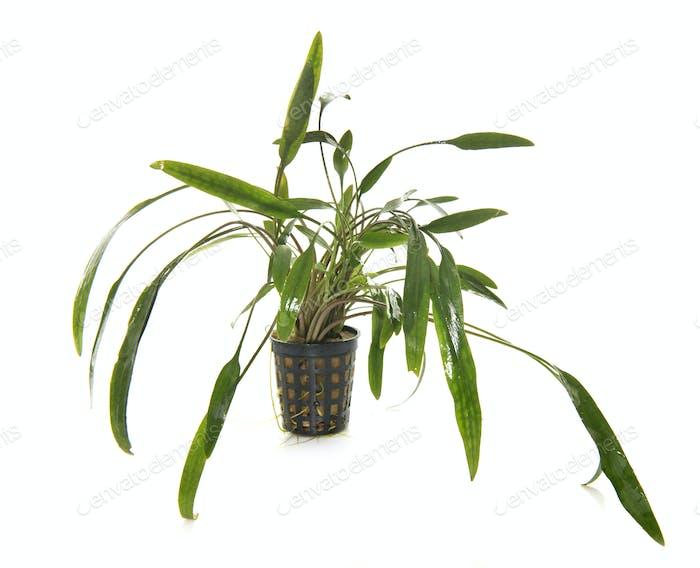 Aquarienpflanze im Studio