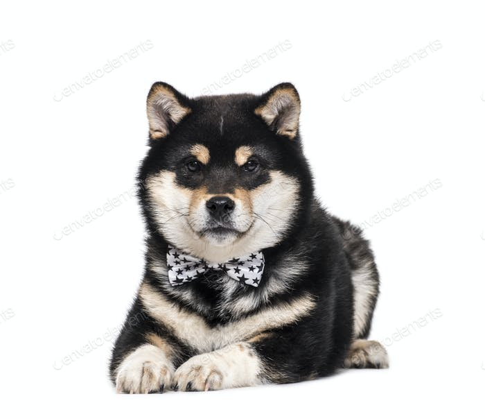 Lying down Shiba Inu Dog wearing a bow tie, cut out