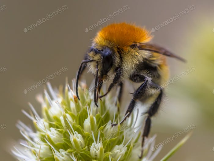 Gran abejorro amarillo en flor