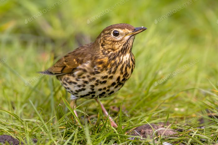 Song Thrush with green grass background
