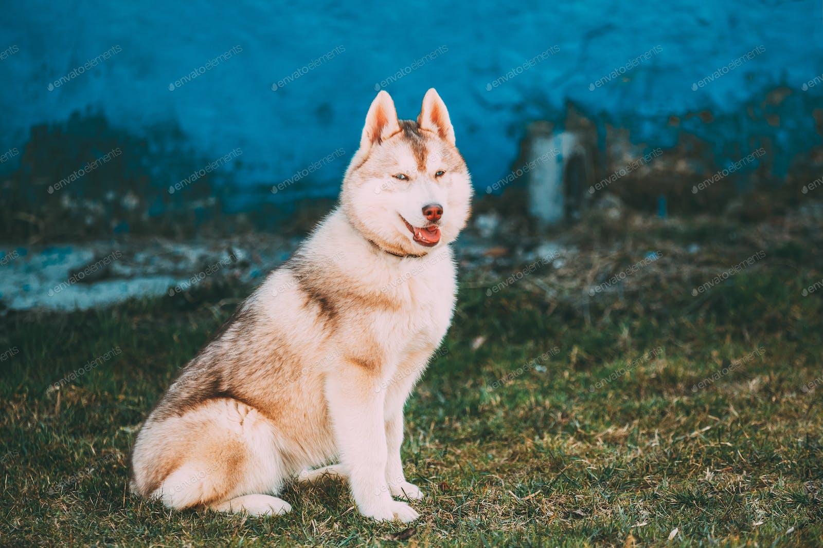 White Husky Puppy Dog With Blue Eyes