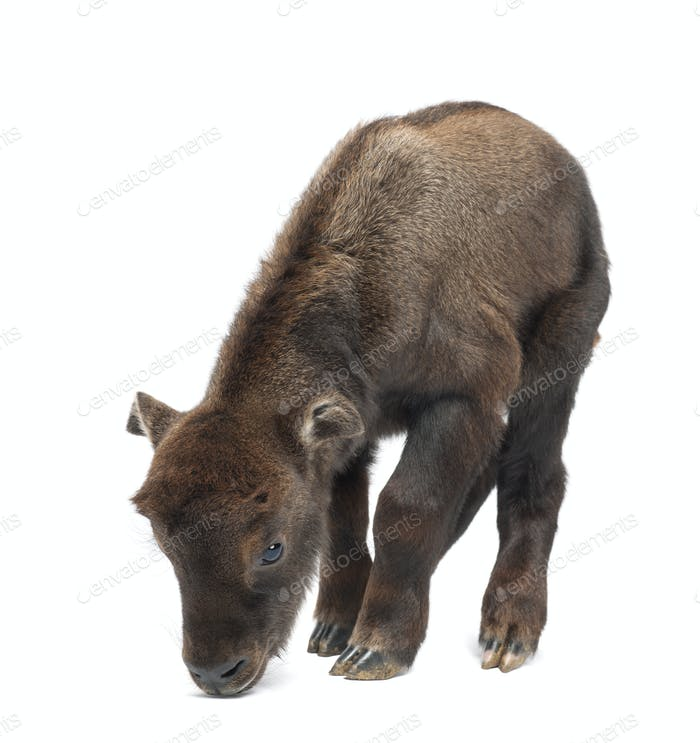 Mishmi Takin, Budorcas taxicolor taxicol, also called Cattle Chamois or Gnu Goat, 10 days old