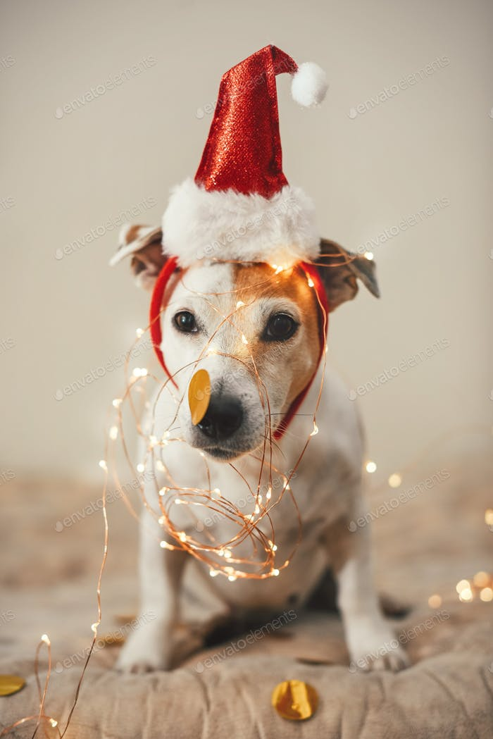 Funny dog in a New Year's cap, sparkling garland, a costume for Christmas party