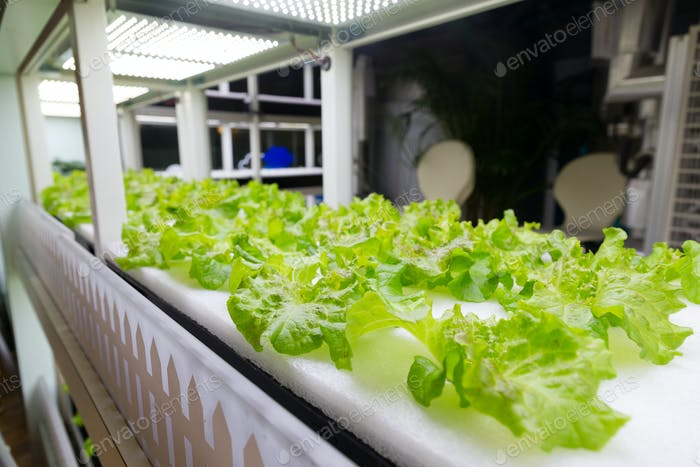 Cultivation vegetables in hydroponics system