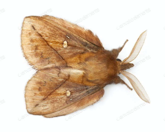 Male Drinker, Euthrix potatoria, a moth in front of white background