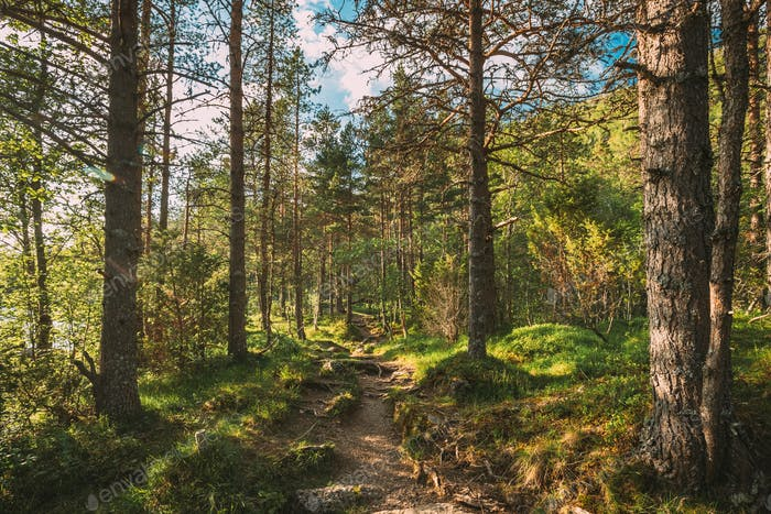 Kinsarvik, Hordaland, Norwegen. Schöner Sommer Nadelwald Am Sonnigen Tag. Green Pine Woods In