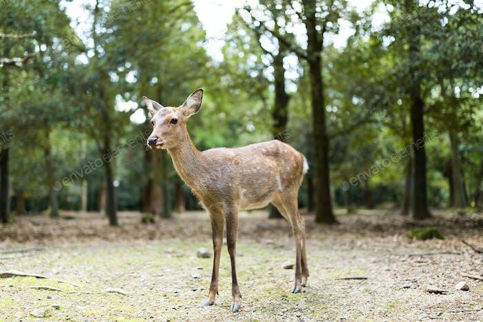 Cute deer in Nara