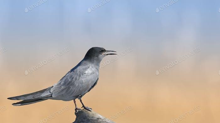 Black Tern sitzt auf einem Stumpf auf schönem Hintergrund