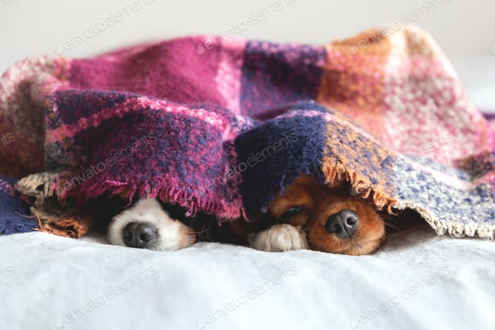 Two dogs under the blanket