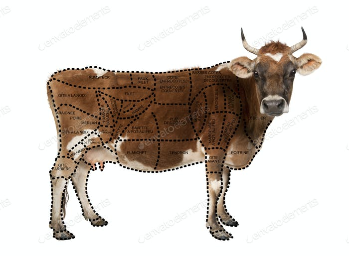 Portrait of brown Jersey cow, 10 years old, standing, studio shot