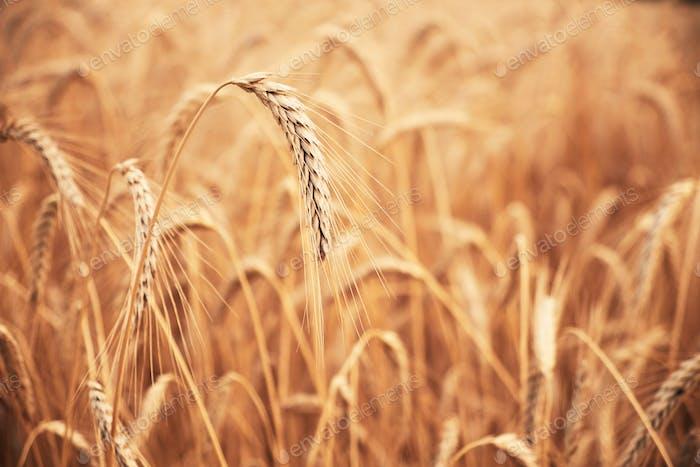 Close up photo of a wheat