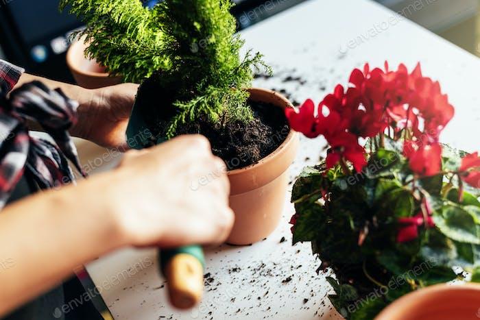 Las manos de la mujer trasplantando planta.