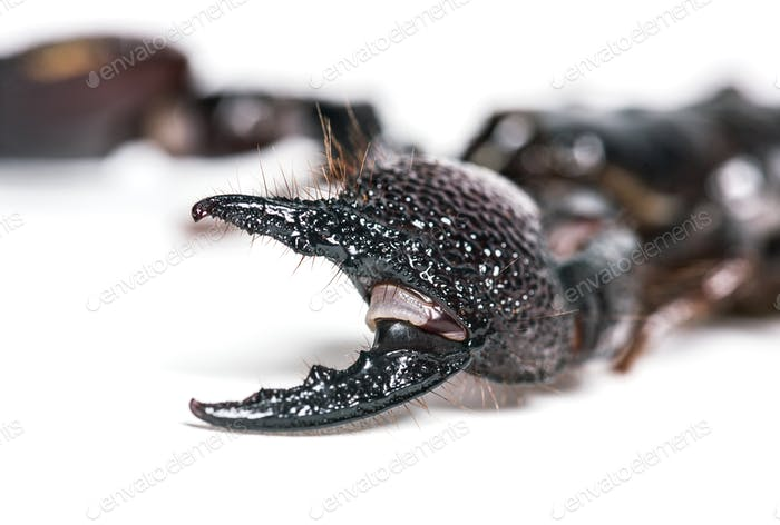 Emperor scorpion, Pandinus imperator, pincers in close up, in front of white background