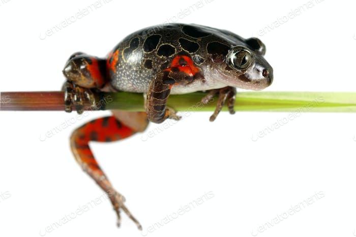 Tanzanian Tiger Leg Tree Frog
