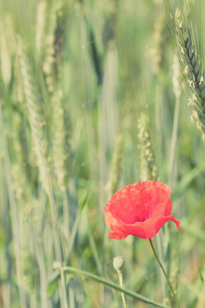 Poppy flower retro peaceful green background