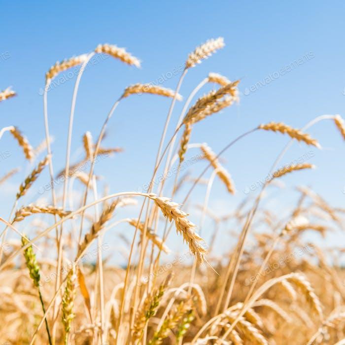 Herbstlandschaft von Goldenen Weizen Feld