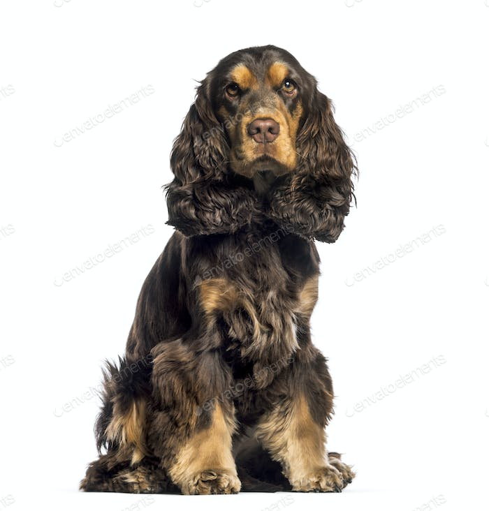 Cocker Spaniel, 16 months old, sitting in front of white background