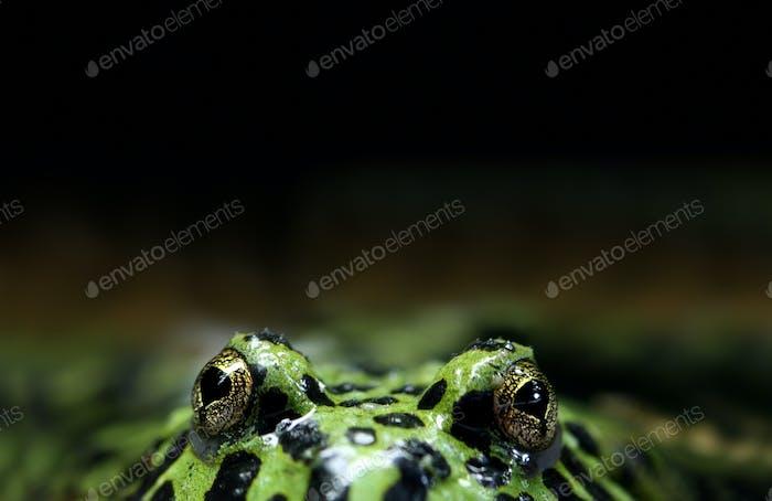 Peeking Frog