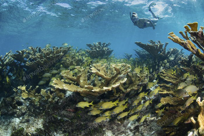 Snorkeler floats over field of hard corals.