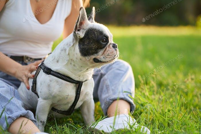 French bulldog sitting on grass in park