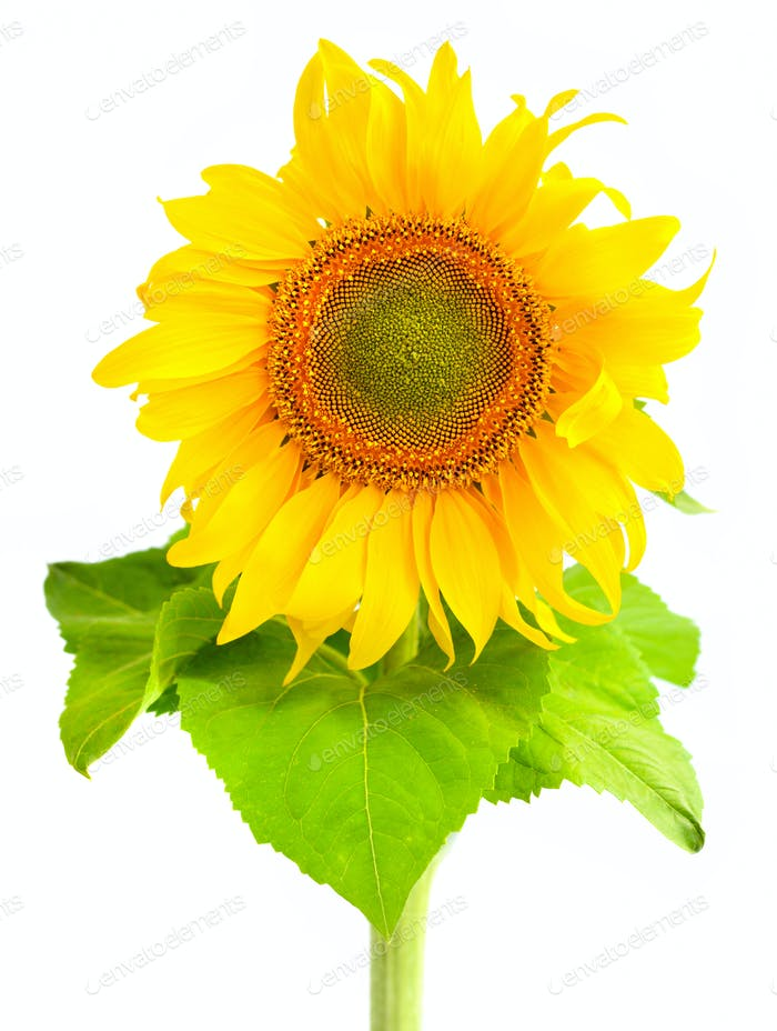 Thumbnail for Sunflower isolated on white background