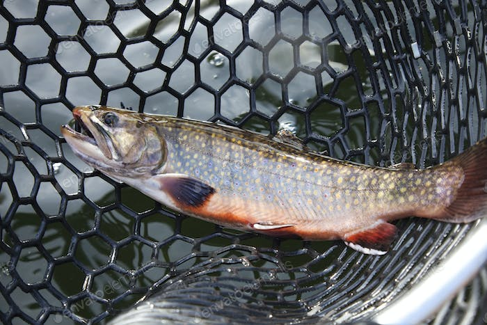 Male brook trout in spawning colors in a landing net