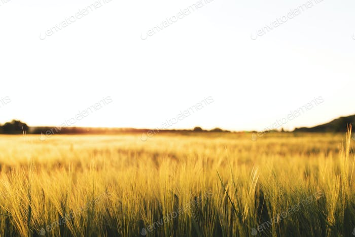 Agriculture concept with golden wheat grain fields panorama photography