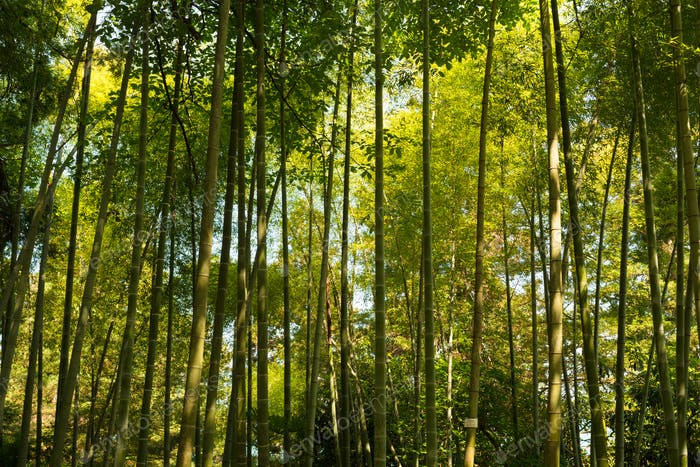 Spring Tall Trees Bamboo Woods. Sunlight In Tropical Forest, Sum