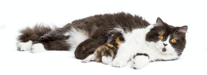 British Longhair lying looking at the camera, feeding its kittens, isolated on white