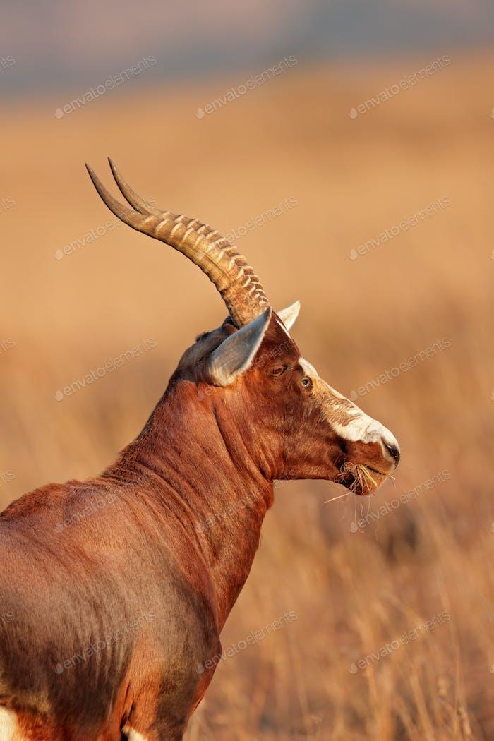Blesbok antelope portrait