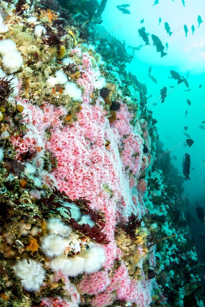 Colorful underwater reef in California