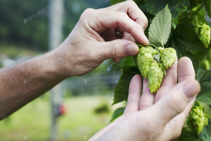Man standing outdoors, picking hop flowers from a hop vine. The hops harvest.