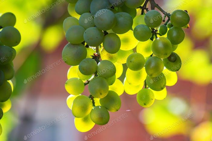 White grape and sunrays