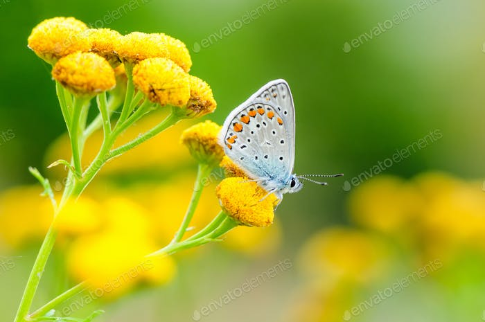 Idas Blue or Northern Blue. Beautiful butterfly sitting on flower.