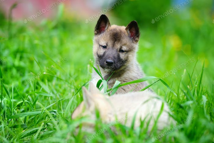 Two lovely charming puppies of Laika breed is sitting on green g