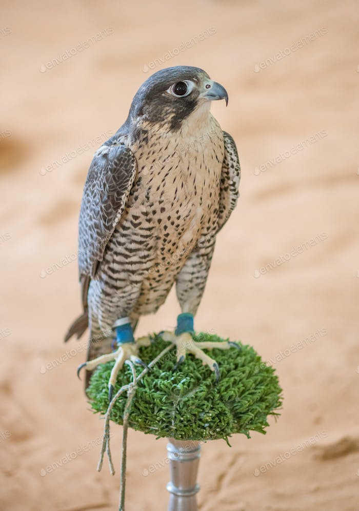 Arabian Falcon on its Perch