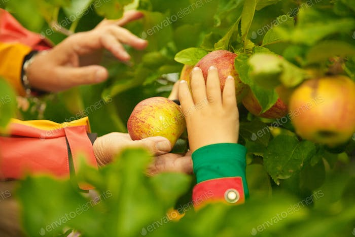 Hands Picking Apples from Tree