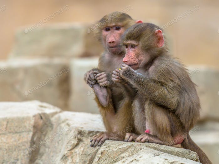 Two juvenile Hamadryas baboons sitting