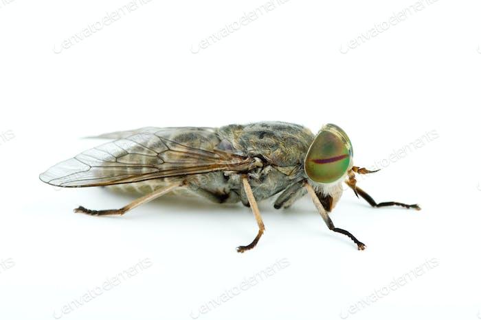 Macro shot of gadfly