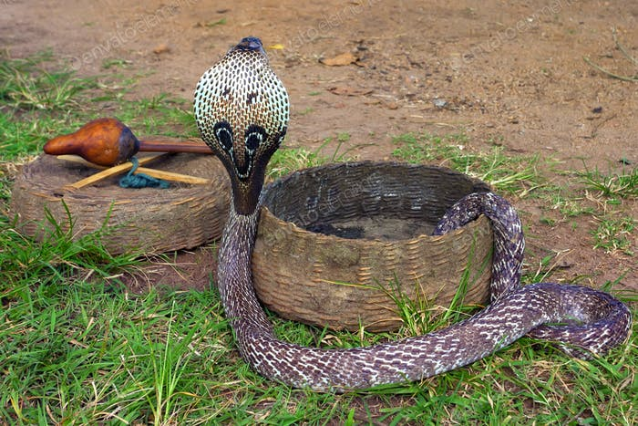 Indian cobra or Naja