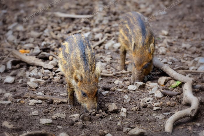 Baby wild boars playing in the mud