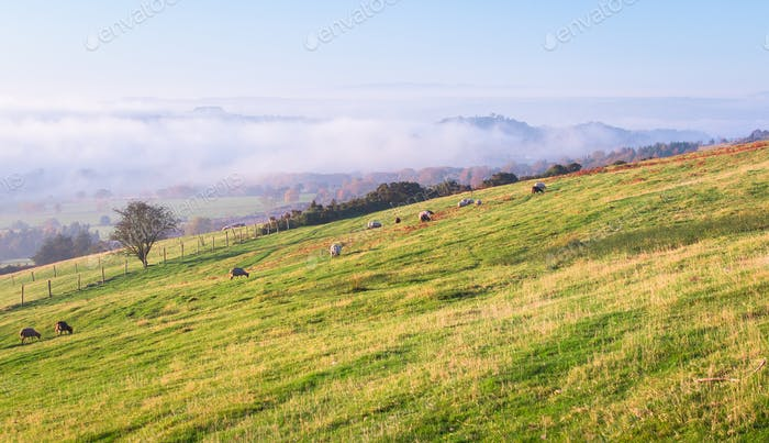 Schafe Weiden auf einem grasigen Feld in England