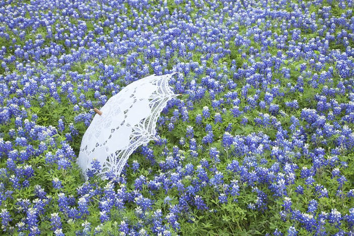 White Parasol in a Field of Texas Bluebonnets